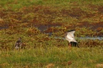 Common Redshank (Tringa totanus)